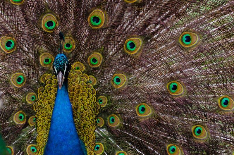 Download индийский павлин стоковое фото. изображение насчитывающей биографической - 41653962