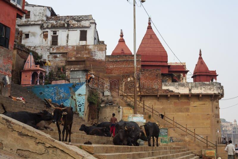 Индийский чабан наблюдая коров на улице самого старого города в мире стоковая фотография