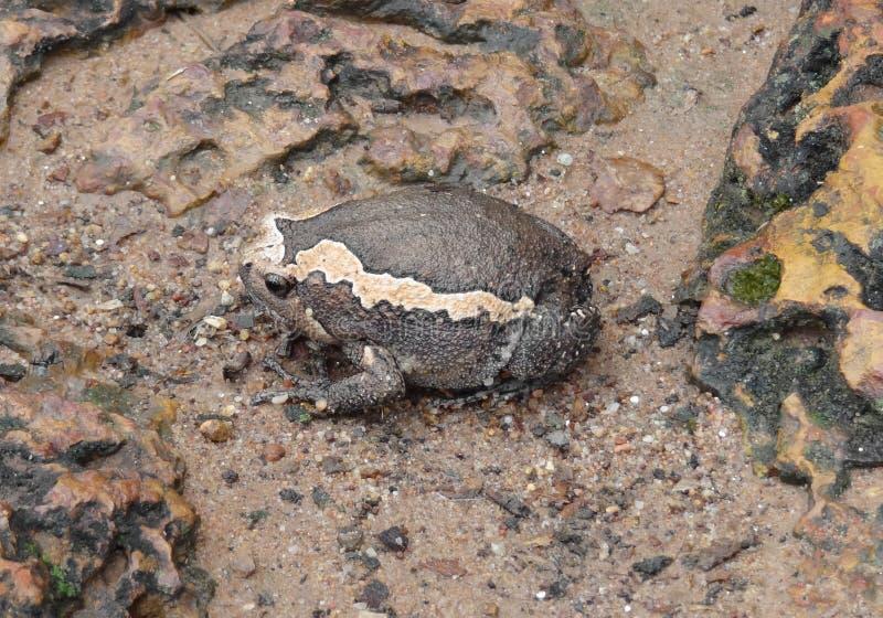 Индийский лягушка-бык стоковые изображения