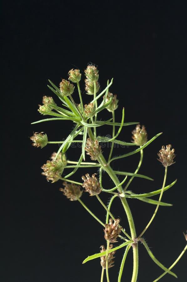 Индийское семя блохи; psyllium стоковая фотография rf