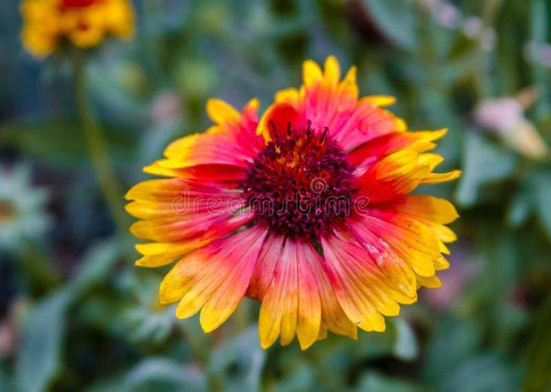 Индийское цветене Wildflower одеяла стоковое фото