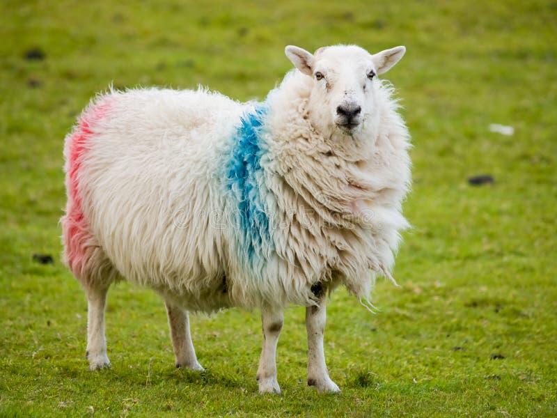 ирландские овцы стоковые фото