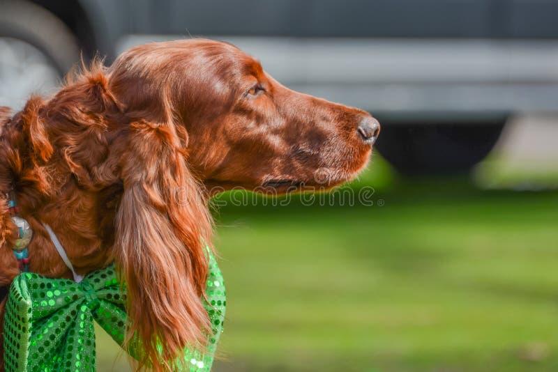 Ирландский сеттер на партии дня ` s St. Patrick стоковая фотография rf