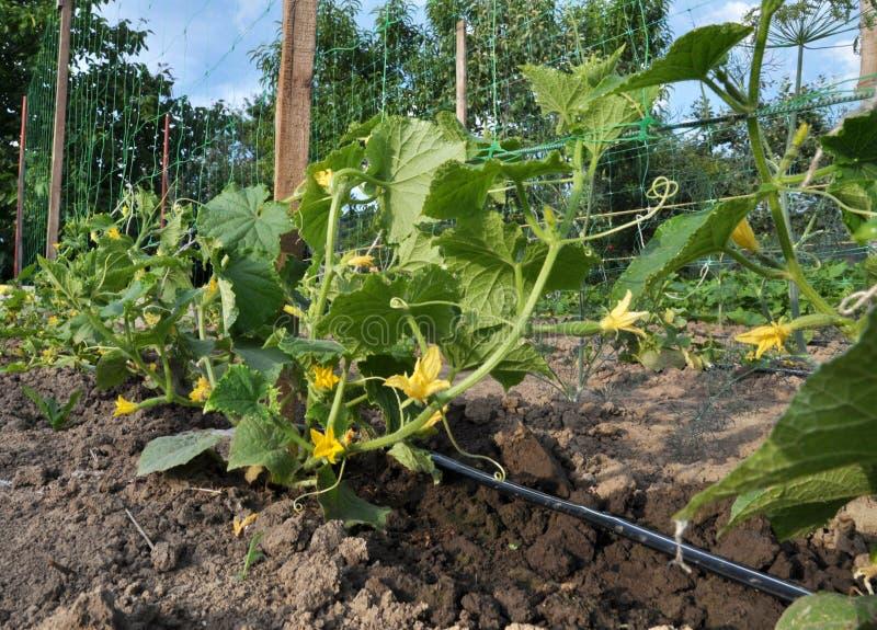 Ирригационная система капельного орошения растя овощи в открытой земле стоковые фото