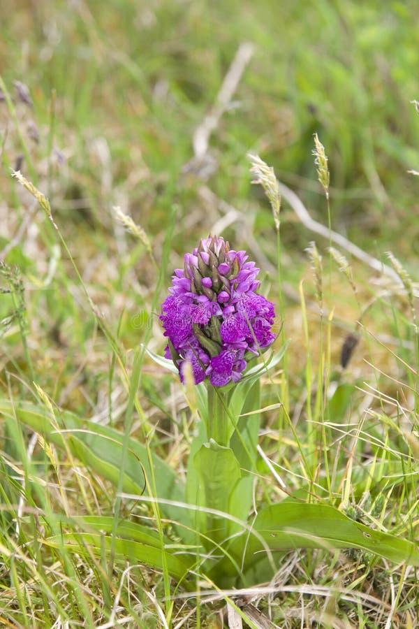 Ирландская фиолетовая одичалая орхидея стоковая фотография rf
