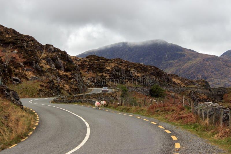 ирландские овцы стоковое фото rf