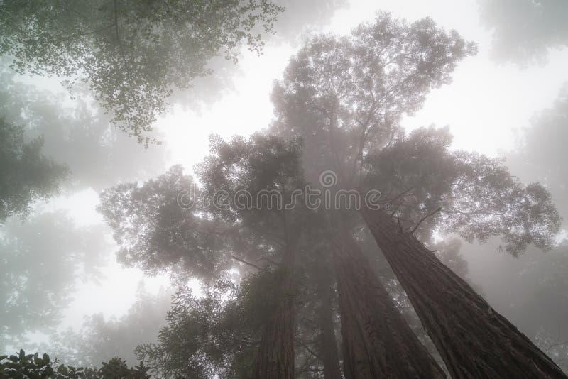Искатели облака, гигантские деревья Redwood стоковое фото rf