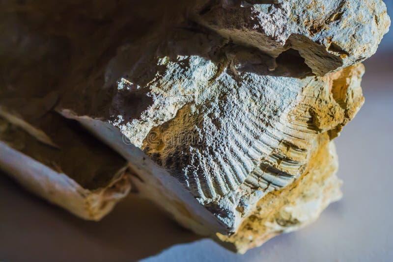 Ископаемые старого теплого моря Западный Сибирь, Россия стоковая фотография rf