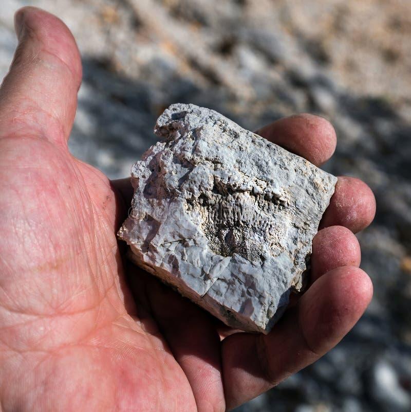 Ископаемые старого теплого моря Западный Сибирь, Россия стоковая фотография