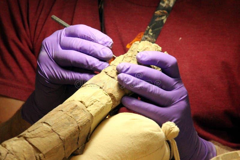 Ископаемый археолога трицератопса стоковые фото
