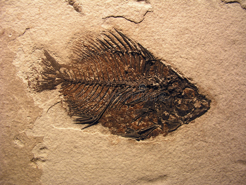 ископаемый рыб стоковая фотография rf