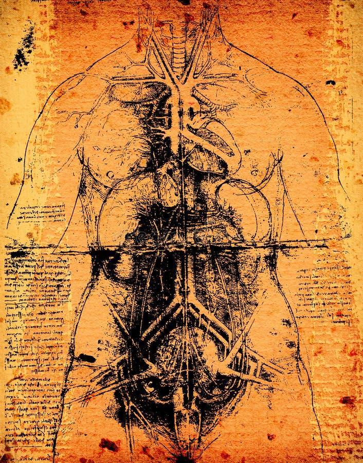Искусство анатомии стоковые фотографии rf