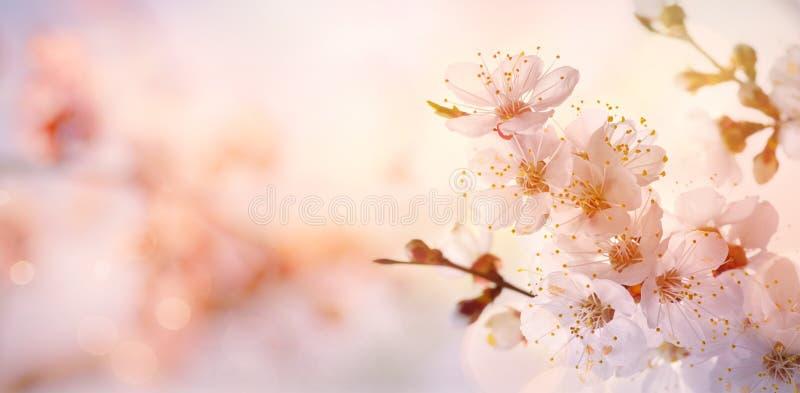 Искусство границы или предпосылки весны искусства с деревом розового  стоковое изображение rf
