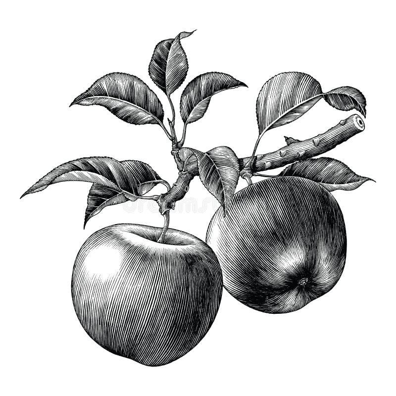 Искусство зажима притяжки руки ветви Яблока винтажное изолированное на белом backgr иллюстрация штока