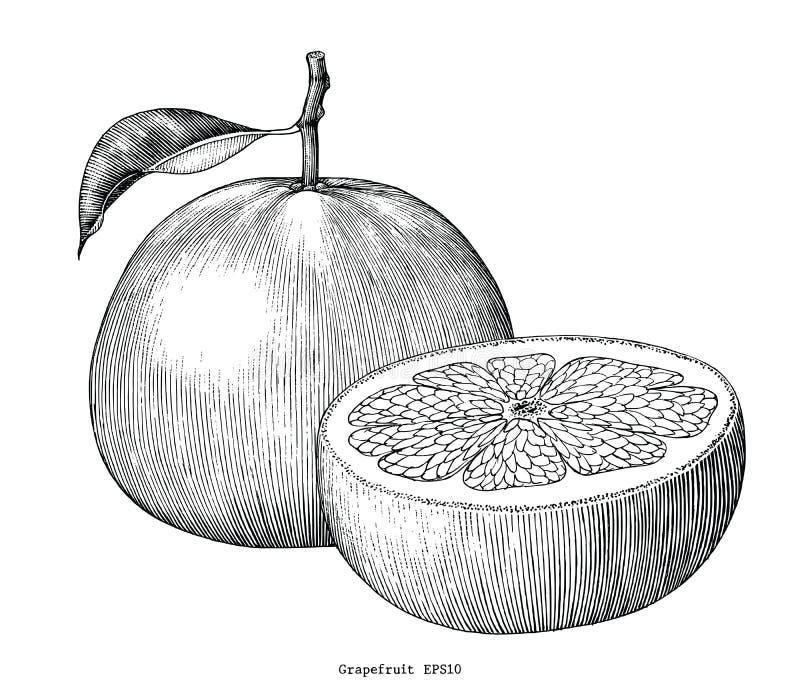 Искусство зажима притяжки руки собрания грейпфрута винтажное изолированное на whi иллюстрация вектора