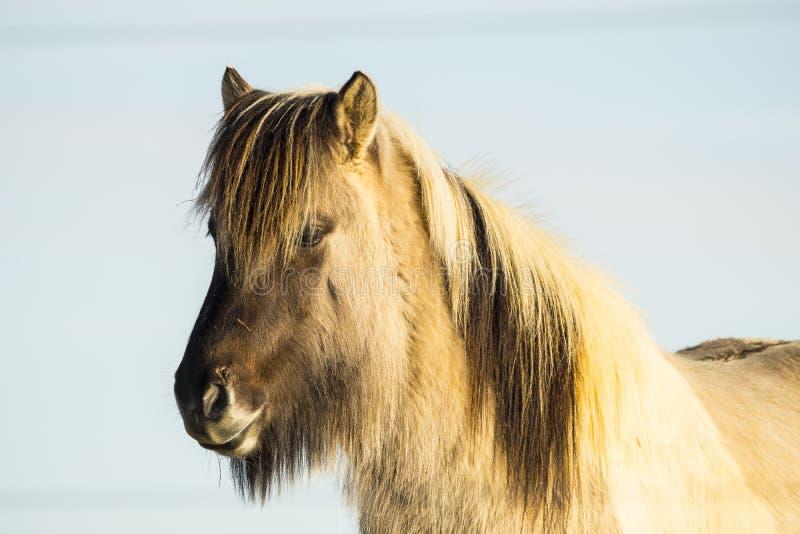 Исландская лошадь на солнечный день с ясным голубым небом стоковые фото