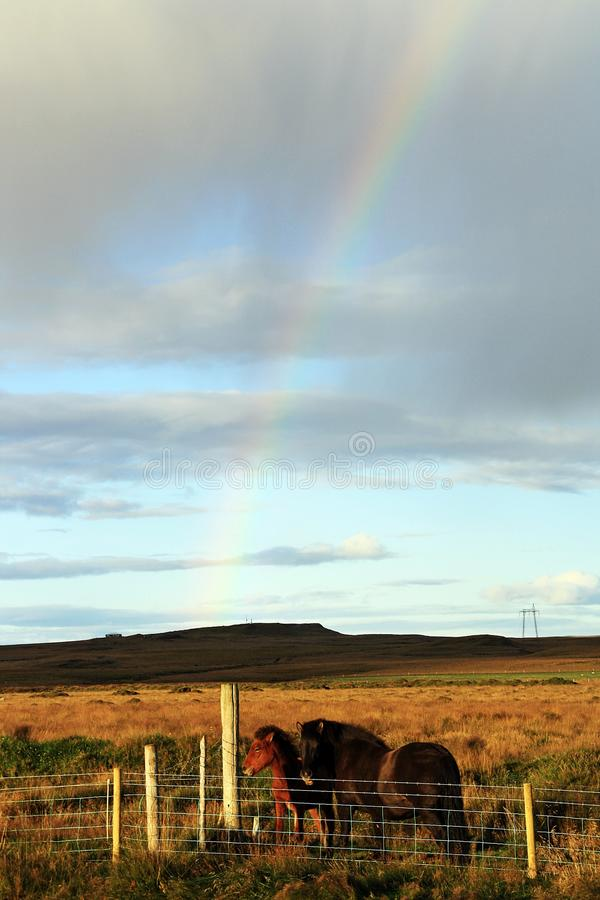 Исландские лошади в солнечном дне с красивой радугой стоковые фотографии rf