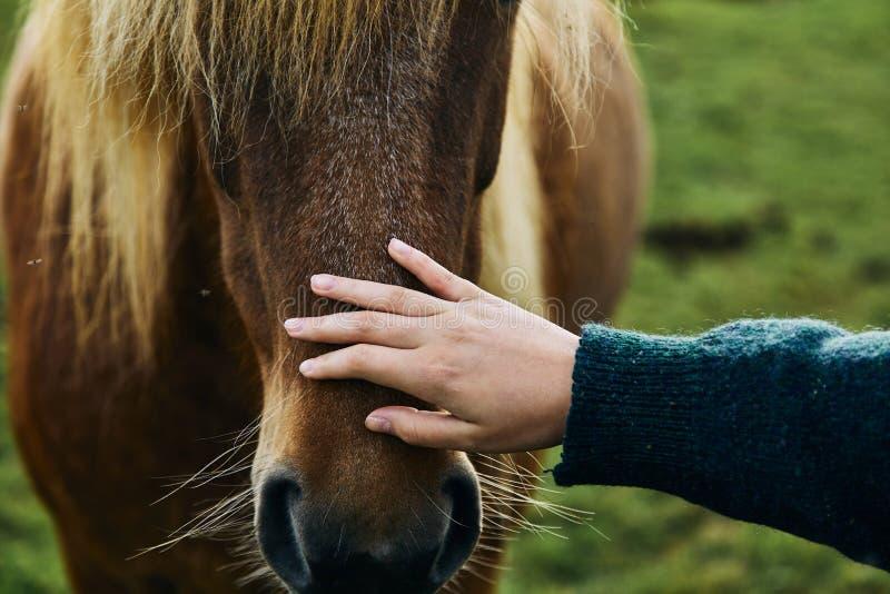 Исландские лошади Исландская лошадь порода лошади начатая в Исландии стоковые фотографии rf
