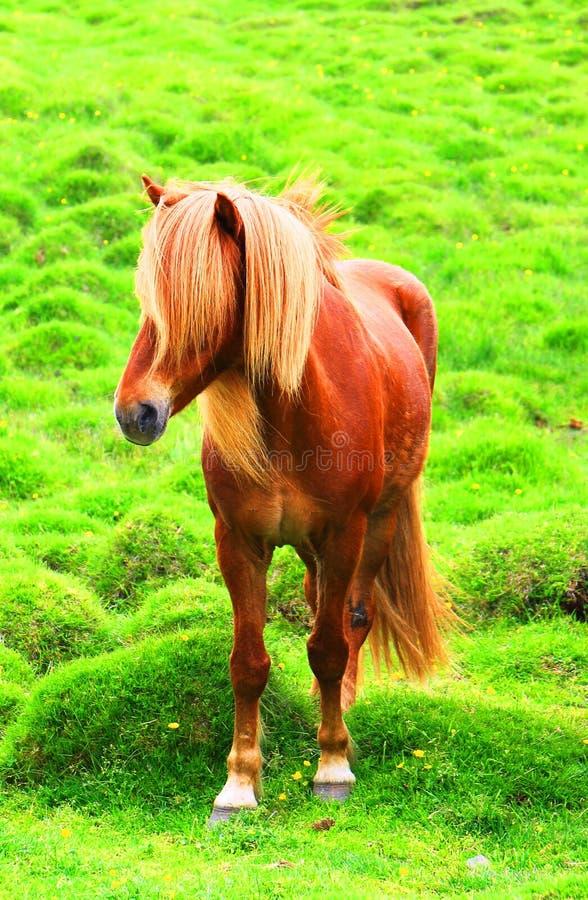 Исландские лошади на зеленом выгоне, Исландии стоковое изображение