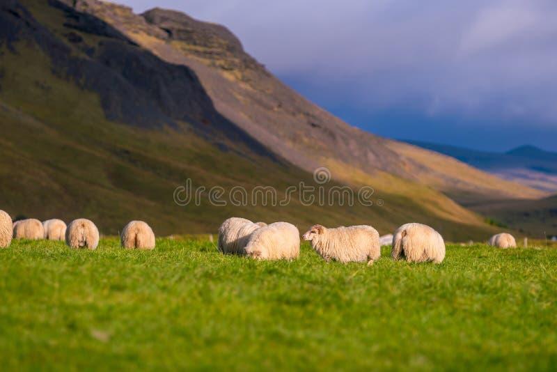 Исландские овцы в луге стоковое изображение rf