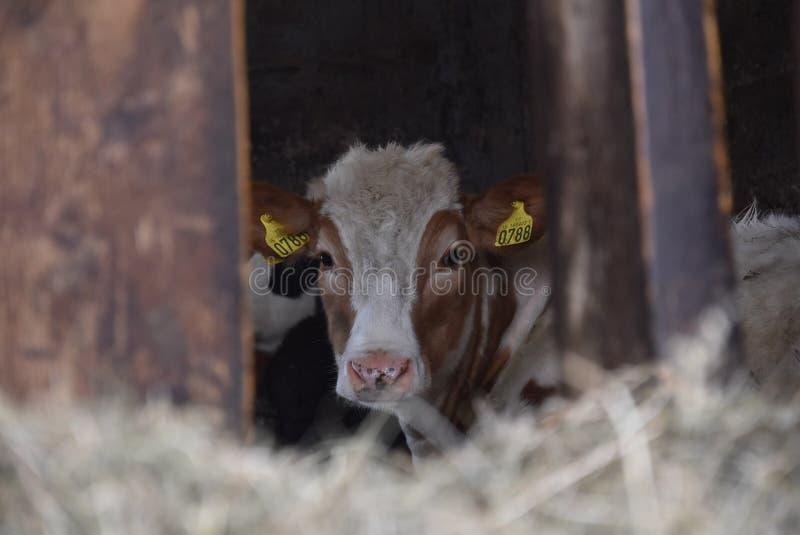 исландские скотины в амбаре стоковая фотография