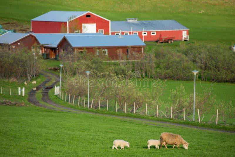 Исландский ландшафт с пасти овец стоковое фото