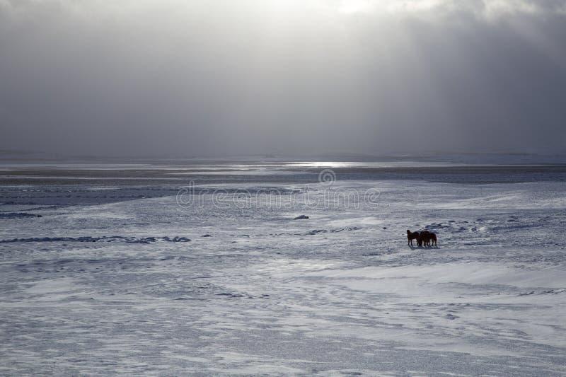Исландский снег лошади стоковые фотографии rf