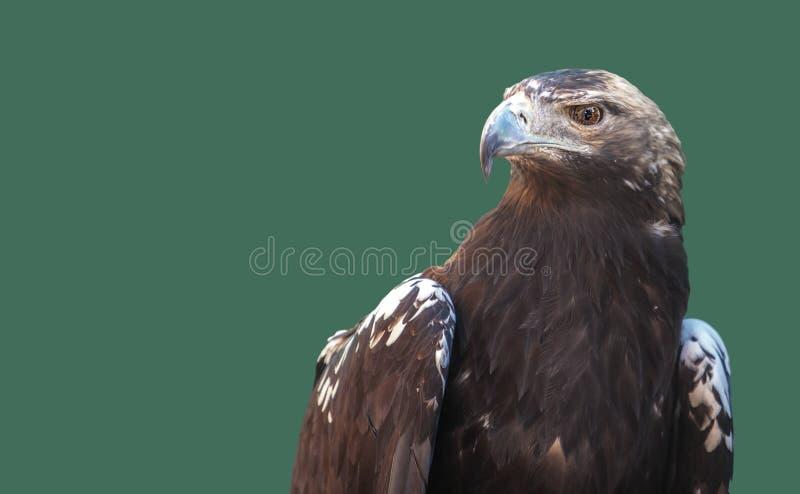 Испанский имперский орел или adalberti Аквила Изолированный над зеленым цветом стоковое изображение rf