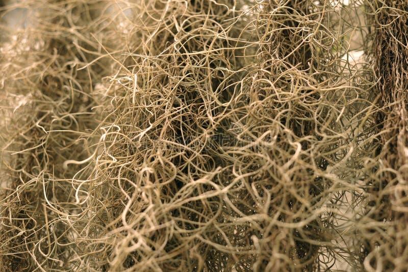 Испанский мох или usneoides Tillandsia в саде естественный gr стоковое изображение rf