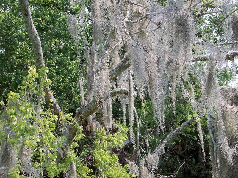 Испанский мох стоковое фото rf