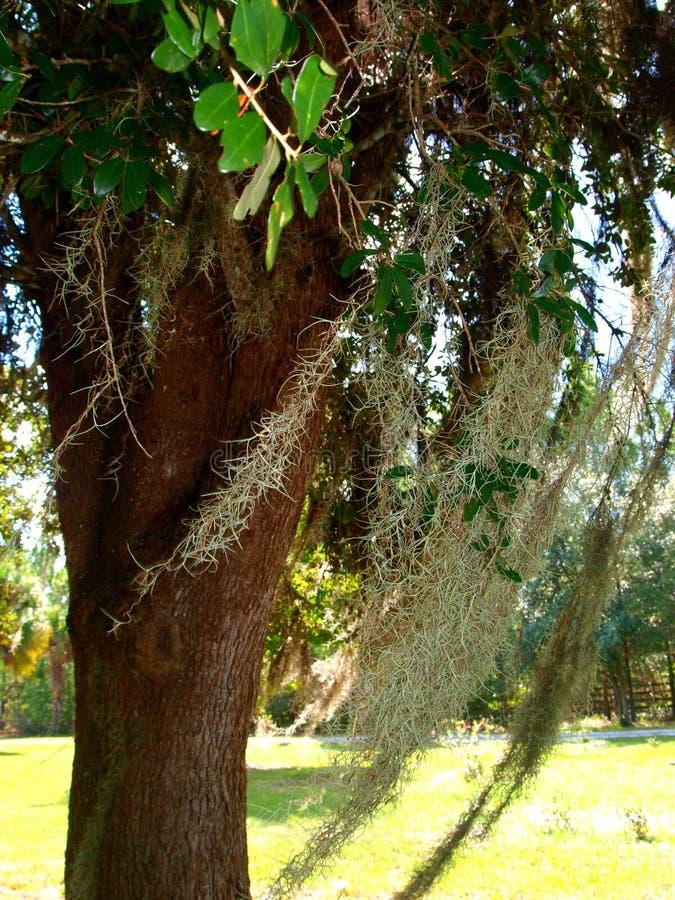 Испанский мох стоковая фотография rf