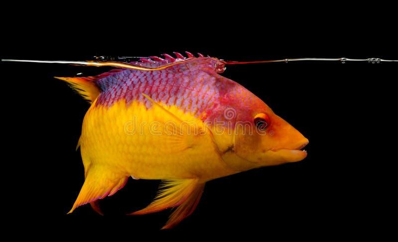 Испанский hogfish на черной предпосылке стоковое изображение