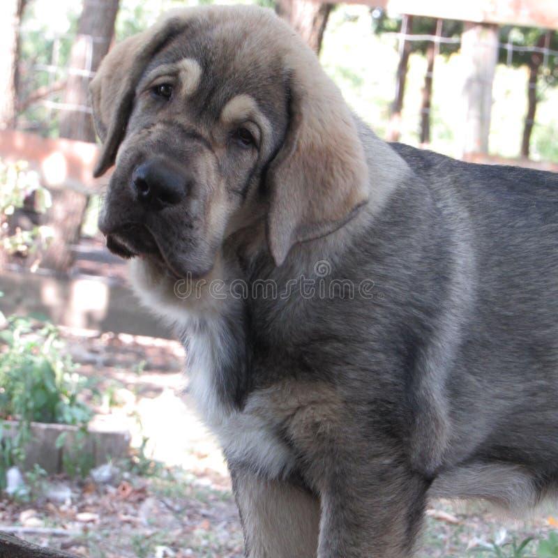 Испанский mastiff стоковые фото