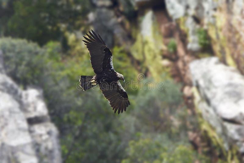 Испанское имперское adalberti Аквилы орла стоковое фото rf