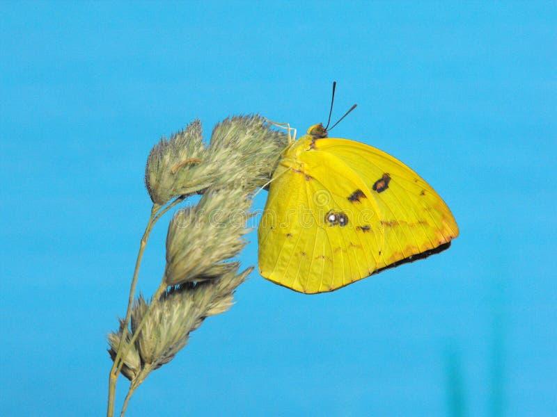 Испещрянная эмигрантская бабочка отдыхая на стержне травы стоковое изображение rf