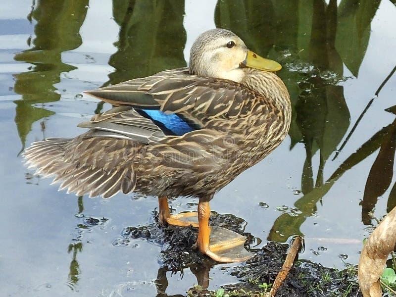 Испещрянное fulvigula утки или Anas стоковое фото rf