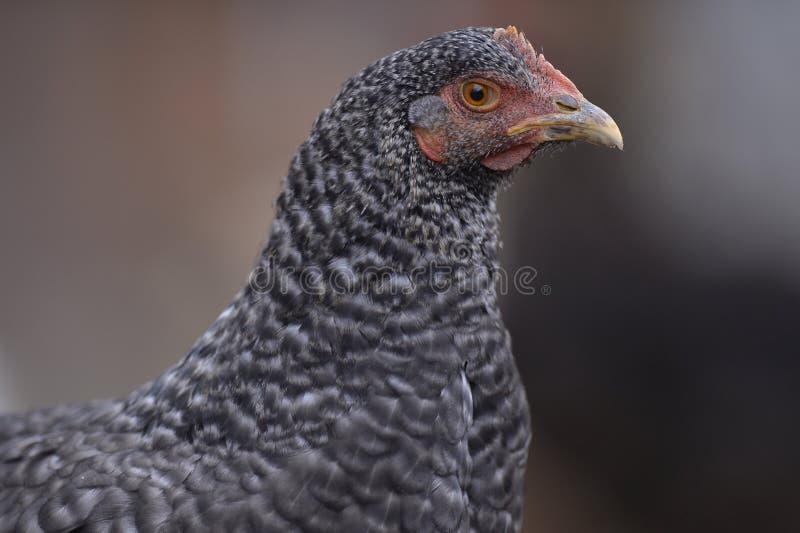Испещрянный цыпленок стоковое фото