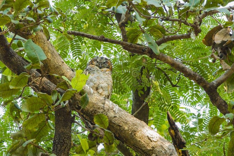 Испещрятьый деревянный сыч в лесе стоковые изображения rf