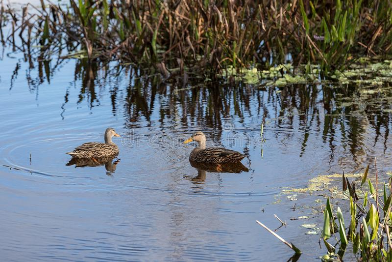 Испещрятьый заплыв fulvigula Anas утки в болоте стоковые изображения
