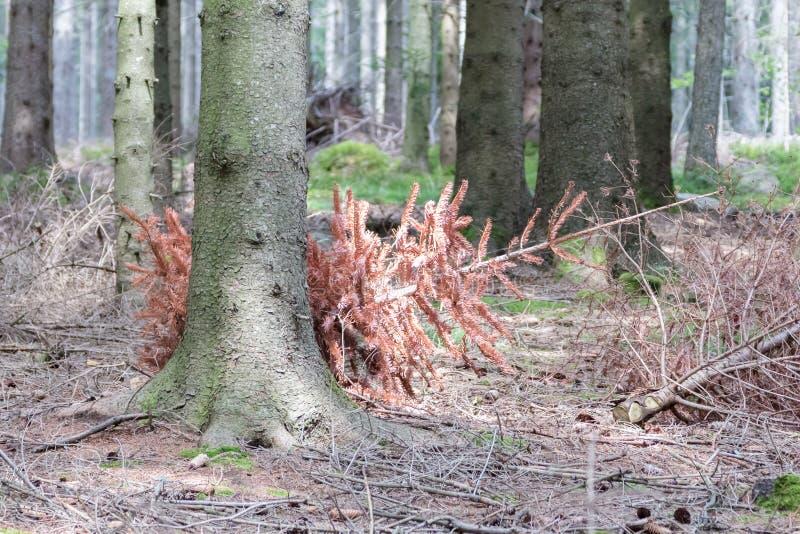 Используемая рождественская елка сброшенная в лесе стоковые фото
