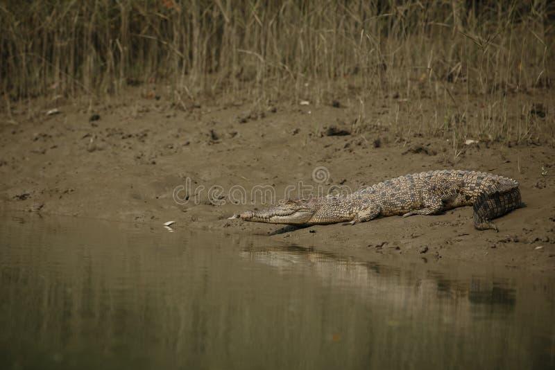 Исполинский посоленный крокодил вод воды уловил в мангровах Sundarbans стоковая фотография rf