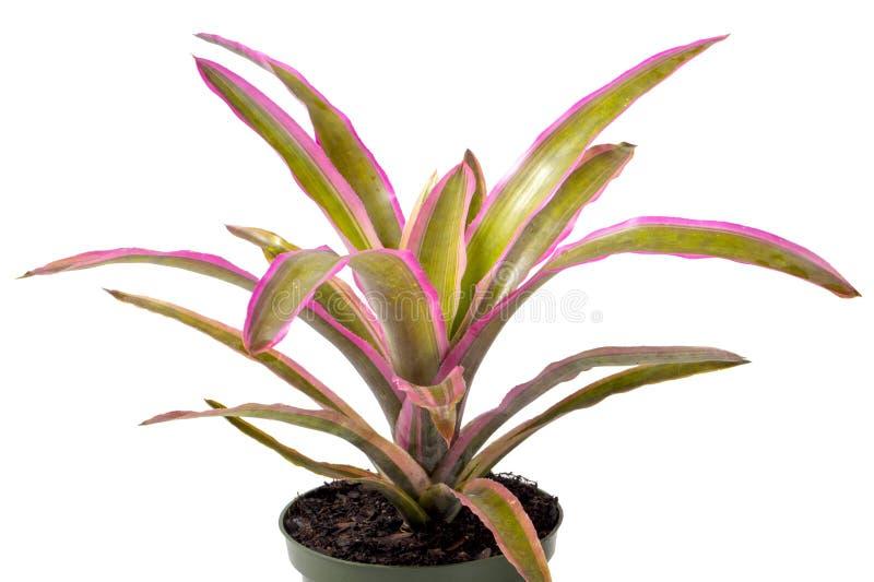 Исправьте Bromeliad на белизне стоковая фотография rf