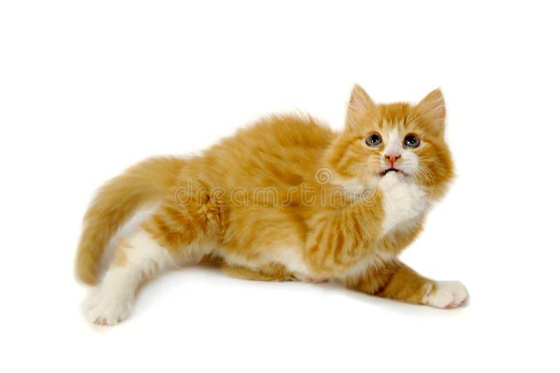 испуганный котенок стоковые фотографии rf