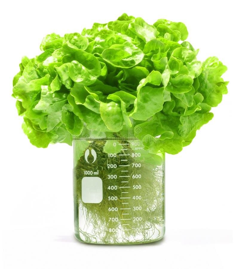 испытание салата beaker hydroponic стоковые изображения