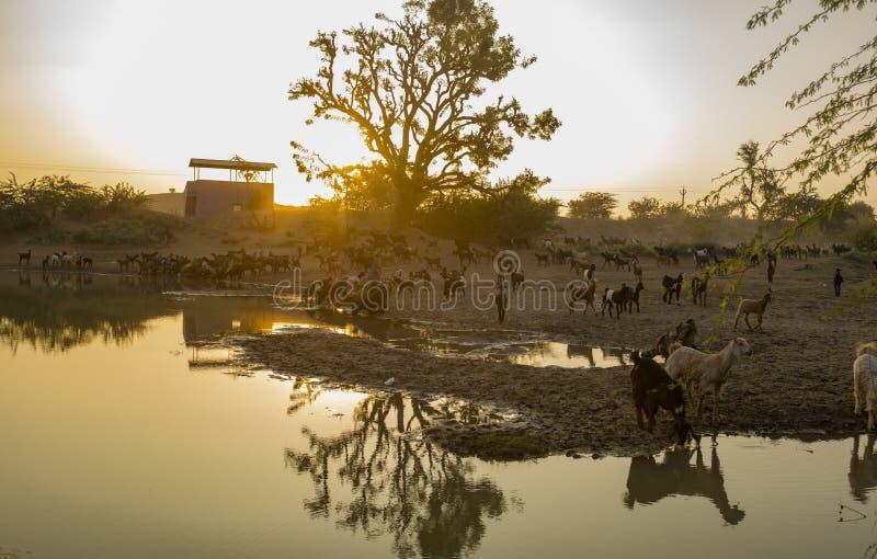 Испытывающая жажду коза стоковые фотографии rf