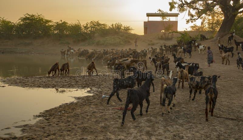 Испытывающая жажду коза стоковая фотография