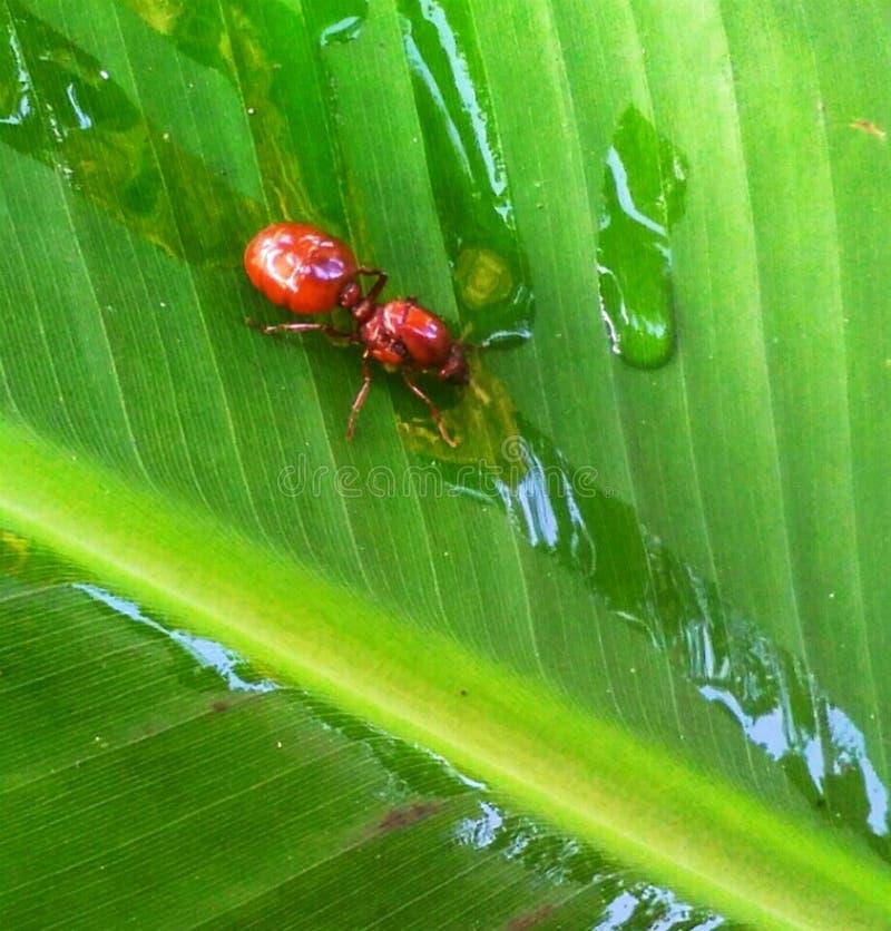 Испытывающий жажду муравей стоковые фото