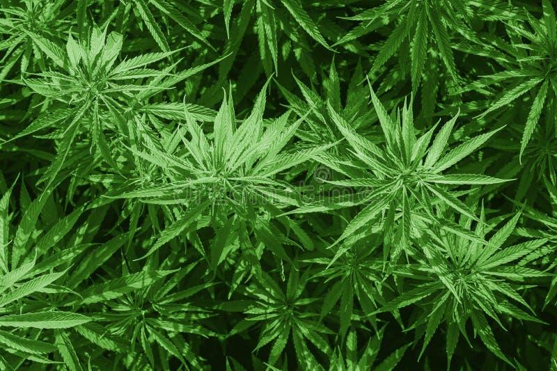 Исследование конопли, культивирование конопли sativa, цветя завода как законное целебное лекарство, травы марихуаны конопли стоковые изображения