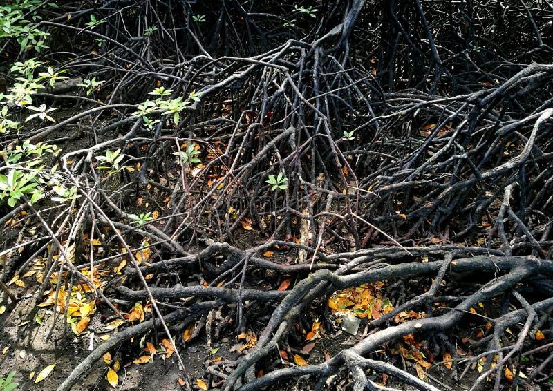 Истинная ризофора вида дерева мангровы стоковые фото