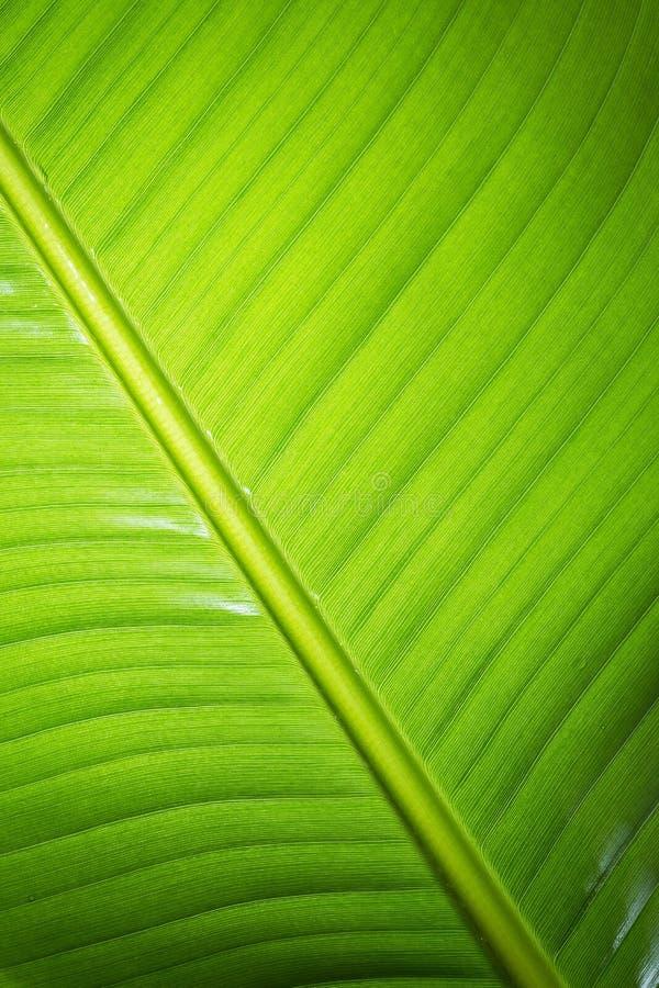 листья банана свежие зеленые стоковое изображение